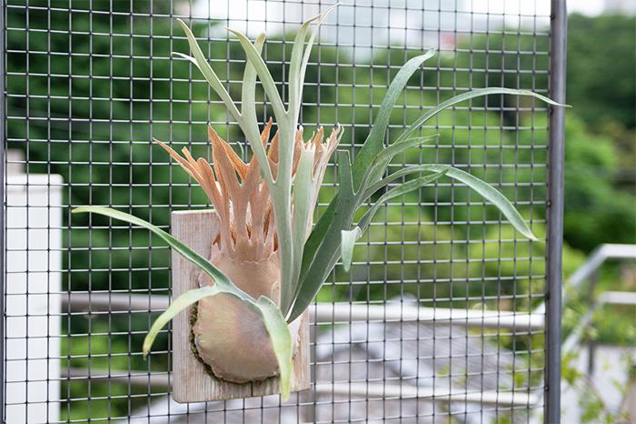 プラティケリウム ベイチー(Platycerium veitchii)