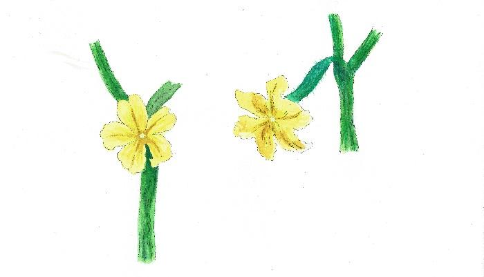 左:雄花 右:雌花  きゅうりの雌花  小さいミニきゅうりがついているのが雌花の目印です。きゅうりの雌花は開花してからだいたい7日間位で長さ18~20cm程度の実に育ちます。  きゅうりの雄花  花の根元にミニきゅうりがついていないものが雄花になります。  このように、きゅうりには一つの株に雌花と雄花がついています。同じウリ科のズッキーニやスイカは、雌花と雄花を受粉させて実を作りますが、きゅうりの花は受粉しなくても、実が大きくなる性質があります。  きゅうりのように受粉せずに実をつけることを単為結果性(たんいけっかせい)といいます。  ※単為結果性(たんいけっかせい)…一般的に、受精せずに実ができることを単為結果性(たんいけっかせい)といいます。きゅうりは自動的に実ができる性質があります。