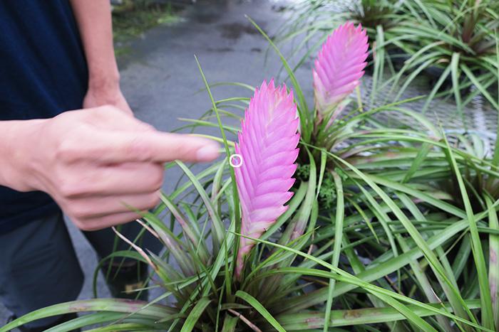指の先にある◯の部分から花が咲きます。