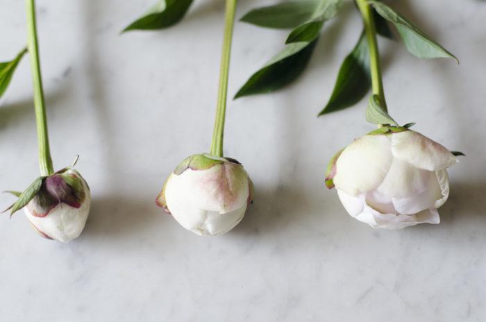 シャクヤクの選び方  一番左のように固く閉じている蕾は咲かない場合もあるため、真ん中や右のような咲きかけのシャクヤクを選ぶと蕾から開花まで長く楽しむことができます。