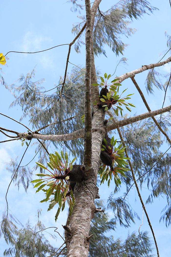 現地では1本の木にまとまって着生している。