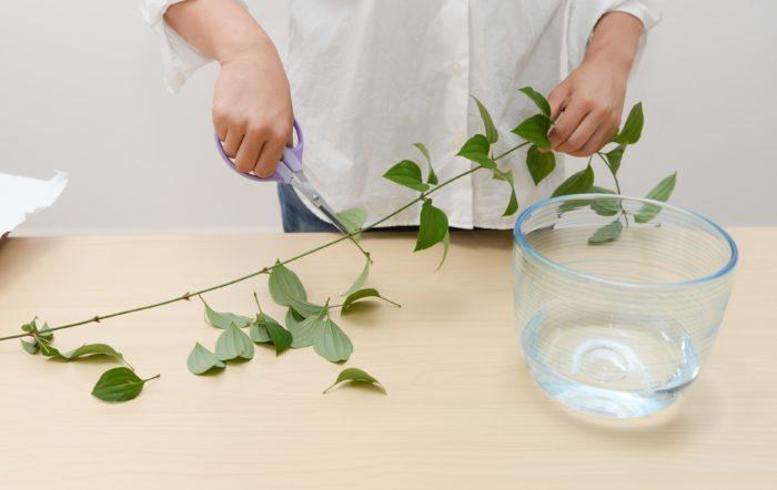 1、 利休草は水に浸かる下葉を全て取る。水は浅めに入れておく。