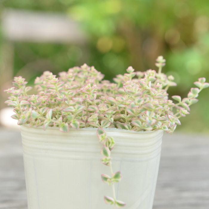 ミッシーは英語で「お嬢さん」の意味。明るいクリーム色の斑は、気温が低くなるとピンク色へと変化します。夏に白い花を咲かせます。