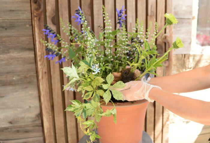トウガラシを植える。移植が苦手なので根はほぐさず優しく植える