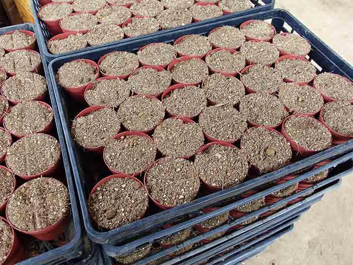 完成した土は鉢にセットされていきます。