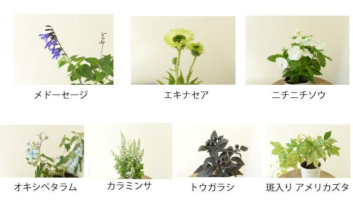 背の高いメド―セージを後方中央に植え、カラミンサをメド―セージの間に植える