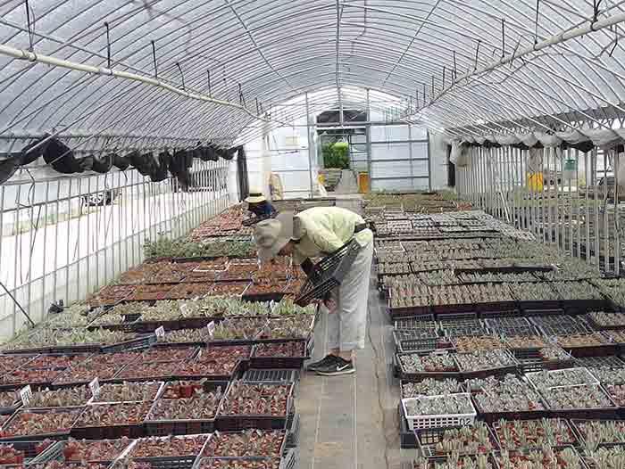 出荷待ちの多肉植物が並ぶ温室へ。  出荷する苗を選ぶ工程へ。同じ種類の中から苗をピッキング。出荷する苗を選抜している様子。出し時は見極める姿は真剣。熟練の担当者さんがひとつひとつ丁寧に選び抜いて行きます。これから旅立つ多肉植物たち。