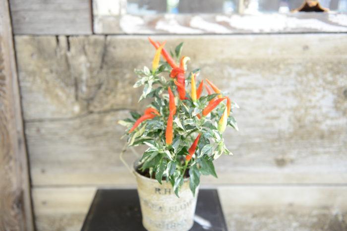 ・ウチュウ クリームレッド  クリーム色の斑入り葉。実はクリーム色から黄色、赤色へと変化。