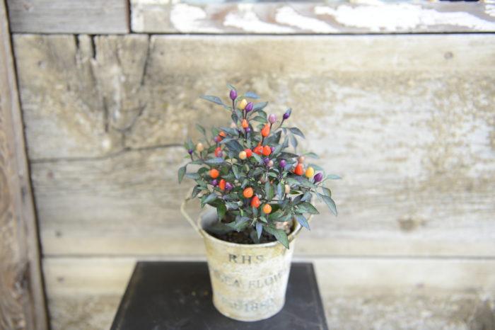 ・トロピカルキャンドル  白い小花の後に、丸くて可愛らしい5色の実をつけます。