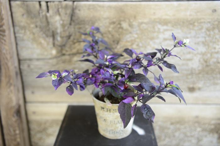 ・パープルフラッシュ  シックな紫葉が印象的。実は濃紫から赤く熟します。