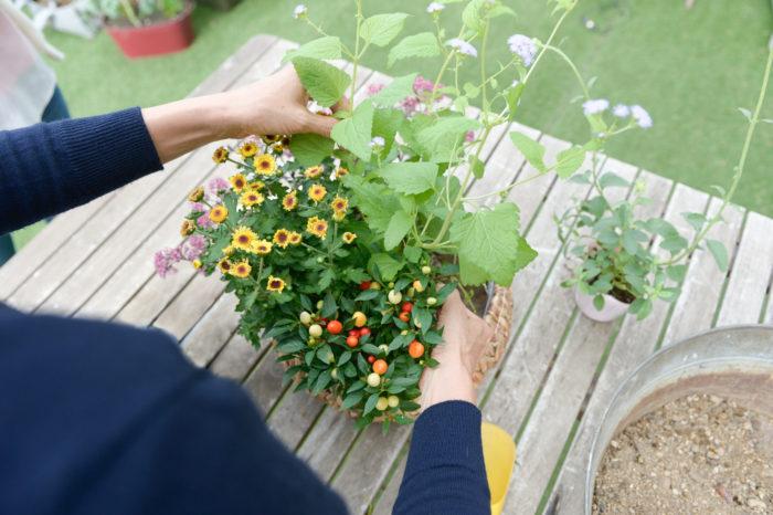 秋の寄せ植え, 杉井志織, 寄せ植えの作り方