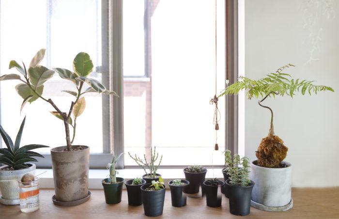 窓辺にいる植物はどれも心地よさそうです。基本的に植物はすべて日当たりと風通しの良い窓辺かベランダに置いて管理。