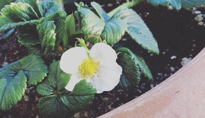 休眠期に咲いたいちごの花は、地温の上昇で咲いたものです。しかし、このまま生育させても充分育ちません。休眠期が終わるまで咲いた花は摘み取りましょう。  ・水やり  この時期は、いちごの休眠期です。引き続き水をあげるときは、暖かい日の午前中に与えましょう。  ・黄葉取り  病葉や茶色くなって枯れた葉を順次取り除きます。  ・肥料  この時期は特に必要ありません。