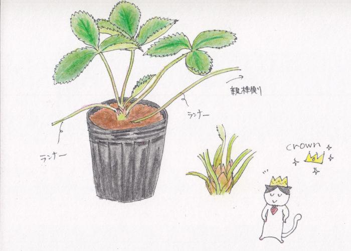 1. 葉が青々としているもの  葉がうどん粉病などの病気にかかっていると、白く粉を吹いたようになっています。綺麗な青々としたいちごの苗を選びましょう。  2. ランナーの切り残しがあるもの  ランナーとは、親株から伸びたツルのようなもののことです。  なぜこのランナーがあるといいのか?  それは、この親株から伸びたランナーの向きと反対方向にいちごの花房が出るので、このランナーがあることで日当たりやいちごが収穫しやすいように工夫することができます。  3. 病害虫被害のないもの  新芽にアブラムシなどがついていませんか?  苗の底や株元にナメクジはいませんか?