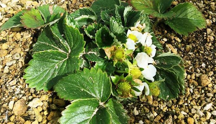 休眠期が終わり、2月下旬~3月初旬頃花が咲き、実が膨らみ出します。この時期のいちごの花は、摘み取らないで、大きく育てましょう。  ・受粉  いちごは自家受粉をして実のります。花はたくさん咲くのに実が大きくならない、いちごの実が奇形などの場合は、充分な受粉が行われていない可能性があります。筆で優しくいちごの花の中心をなでるように人工授粉で、いちごを実らせましょう。  ・水やり  水は与えつつも、排水性の良い環境で育てましょう。  ・黄葉取り  病葉や茶色くなって枯れた葉を順次取り除きます。  ・肥料  2回目の肥料は、休眠期が終わった2月下旬~3月下旬頃に追肥を施します。これからの生育のための肥料ですので、忘れずに施しましょう。  ・防鳥ネット  鳥につつかれないように、ネットをかけて鳥の被害を防ぎましょう。