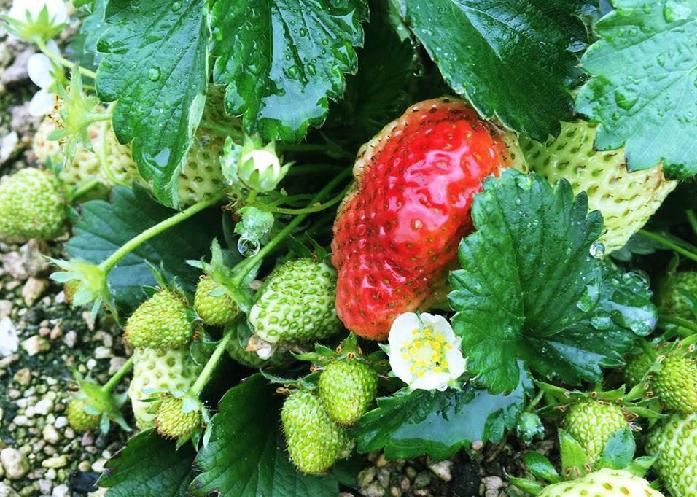 真っ赤な粒が可愛い「いちご」は、親株からランナーを伸ばし、子株、孫株と株を増やしながら、越冬して実を付ける多年草の植物です。園芸店などで販売されているいちごの苗は、植え付けてから実がなるまで半年ほどの長い期間を必要とします。来年の春お家でいちご狩りができるように、10月の作業はいちごの植え付けをスタートしましょう。