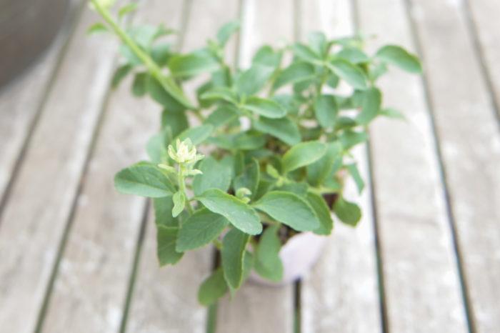 秋の寄せ植え, 杉井志織, 寄せ植えの作り方, プレーリーマスコット