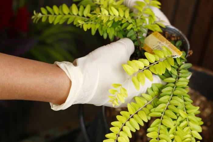 4 ロニセラを株分けして植えます。1つのポットに複数本で仕立ててある株分けできる苗はポットを揉んで根鉢を緩め、優しくほどくように株分けを行いましょう。