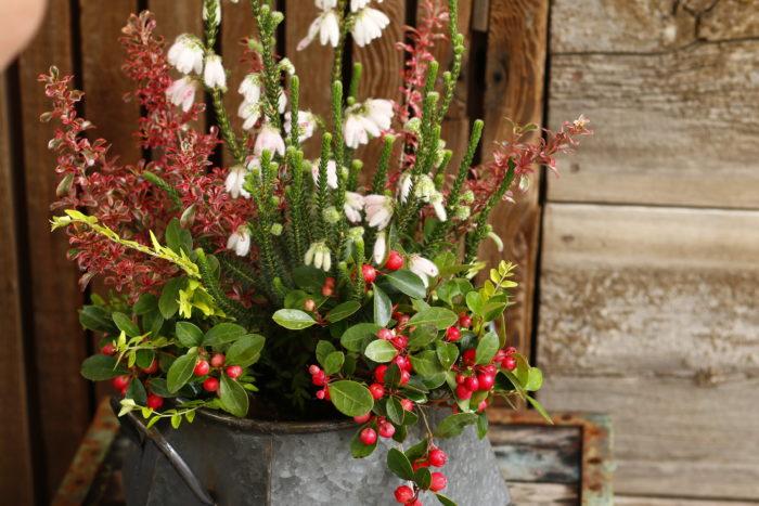 ロニセラはガーデンシクラメンの近くに植えると色が際立つということを意識して、株と株の間に植えます。