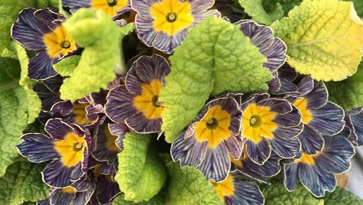 プリムラ  花色や模様が多数あるため、いろんな種類を楽しめます。可愛らしいイメージから、大人のイメージまでこなす多彩な花です。