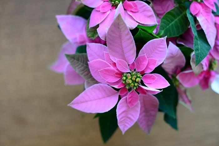 ピンクや白に色づいている花のようにみえる部分は苞(ほう)と呼ばれ、花の基部にあり葉が変形したものです。その中心にある小さな丸い粒が花であり、これをサイアチアと呼びます。
