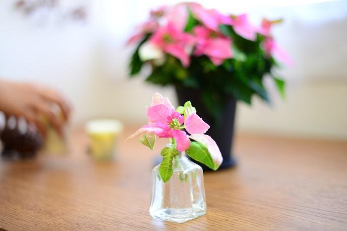 鉢の中で枝が混みあいすぎたら、風通しのよい株にするためにすきこみ剪定をするのもおすすめです。剪定したプリンセチアは、切り花として飾って楽しんでみてください。