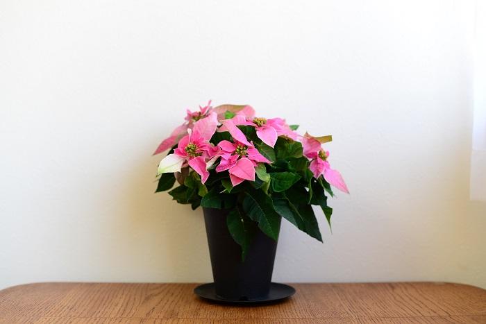 プリンセチアは、葉が隙間なく広がるユーフォルビアの新品種。プリンセチアという商品名は、プリンセスのような華やかな印象と、ポインセチアを組み合わせて「プリンセチア」と名付けられました。  ブーケのような愛らしい見た目と、かわいらしい色合いが人気のプリンセチア。ポインセチアと比べ、プリンセチアは丈夫なため長く楽しめます!  プリンセチアの花言葉は「思いやり」。思いを込めて贈るクリスマスプレゼントもぴったりです。