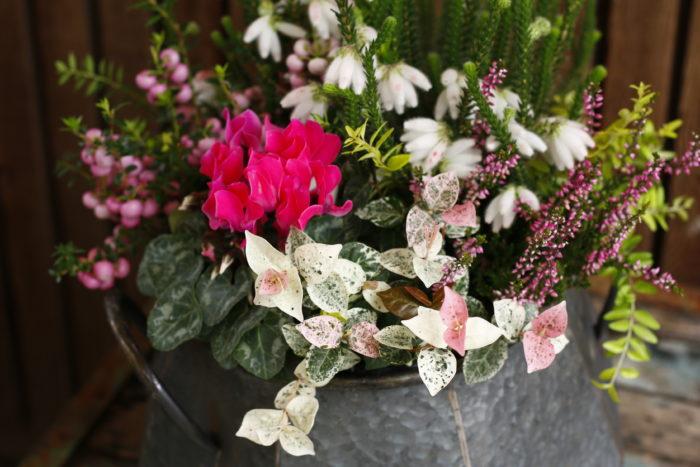 ピンクのガーデンシクラメンにハツユキカズラ、カルーナ、真珠の木などを合わせて可愛らしく。