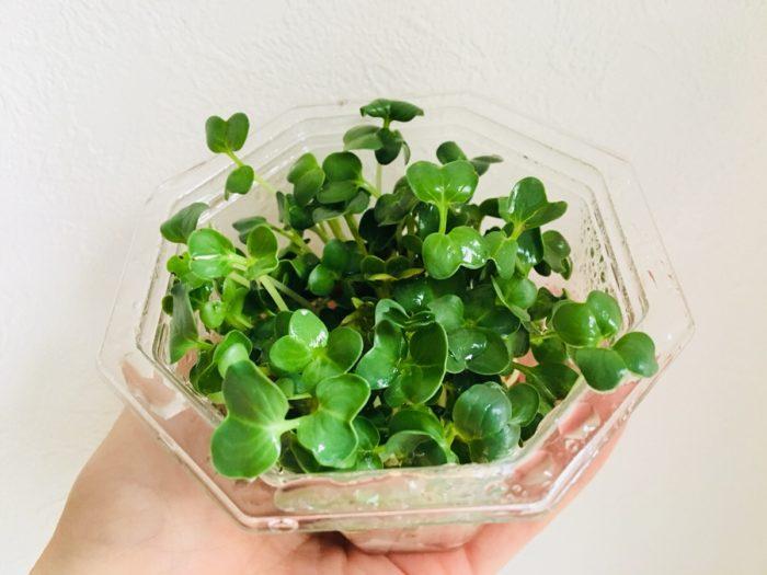 かいわれスプラウト  ある程度茎が伸びて双葉が開いてきたら被せていたアルミホイルをはずし、日当たりの良い窓辺において緑化させましょう。  みるみるうちに緑色になってきますよ♪
