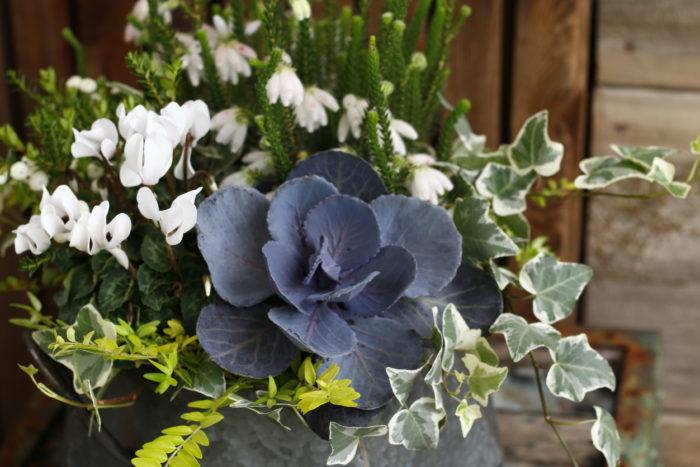 白いガーデンシクラメンに紫キャベツ、アイビー、真珠の木などを寄せて魅力的な雰囲気に。