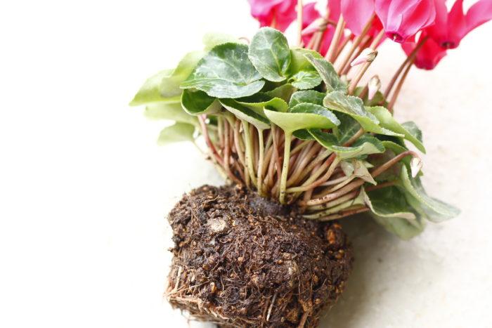 カビの発生を防ぐために、球根を少しだけ土から出して植えるのがポイント。先に植えると気付かないうちに球根が埋もれてしまうので、寄せ植えの最後に植えましょう。
