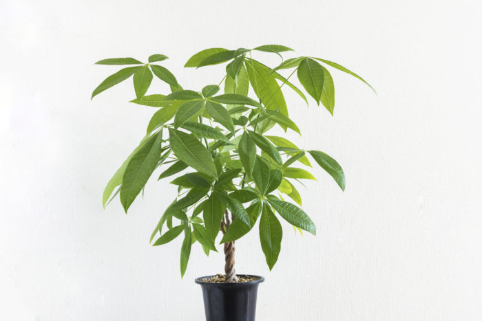 大型観葉植物であるパキラは幹が肥大しているものや編み込まれたものなど、さまざまな仕立て方をされています。