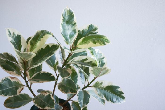 大型観葉植物の中でも種類や葉模様が豊富なゴムの木は定番中の定番です。特に斑入りのゴムの木は観賞価値が高く、大きくなったときの存在感が抜群です。ゴムの木は直射日光のような強い光を好むため窓際など、日当たりの良い場所に置くとよいでしょう。