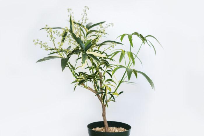 シェフレラ・アンガスティフォリアは細長い葉が特徴の大型観葉植物です。