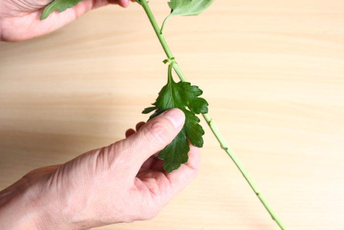 マムの葉は花に比べて1週間ほどの日持ちなので、2、3枚残す程度にして取りましょう。その後のメンテナンスが楽になります。