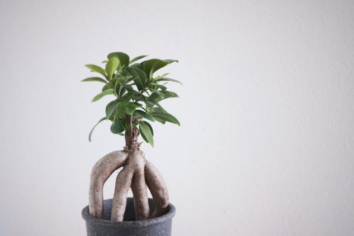 大型観葉植物という印象があまりないガジュマルですが、生長が早く鉢増しを適切に行っていくとしっかりと大型になります。大きく生長したガジュマルは根茎がどっしりとしていて他の大型観葉植物には無い魅力があります。挿し木で増やされたガジュマルは根茎が分枝しづらいため、実生で繁殖された根茎がしっかりと分枝している株を購入すると良いでしょう。