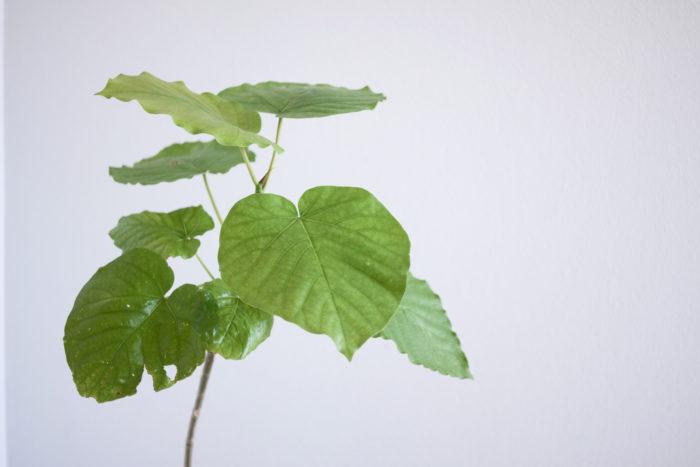 大型観葉植物の中でもハート型の葉が強い人気を誇るフィカス・ウンベラータは、ゴムの木の仲間です。葉が薄くて幅広なため、生長して大きくなるとボリューム満点です。分枝させたい場合は春などの暖かい時期に摘心をすると良いでしょう。