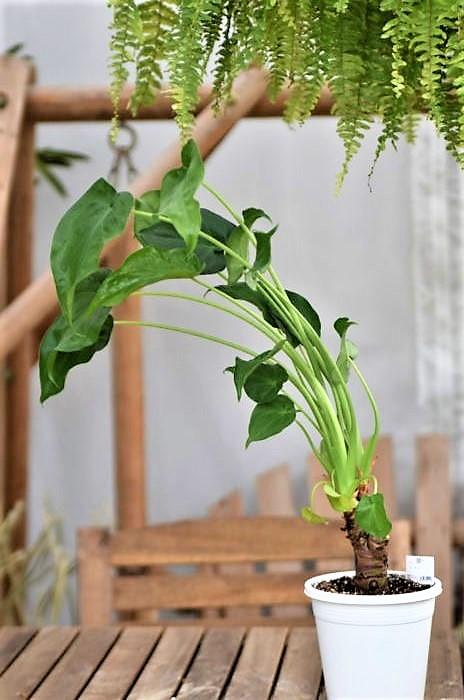 大型観葉植物は樹木類だけでなく、クワズイモなどのイモ系観葉植物もあります。