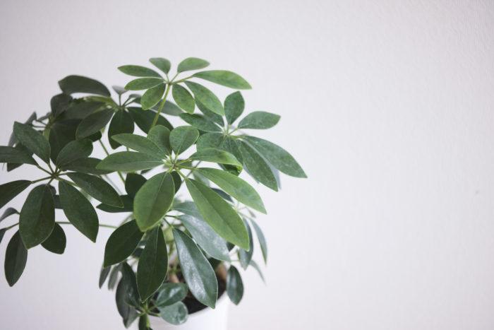 シェフレラ(カポック)は中国南部~台湾が原産の大型観葉植物です。