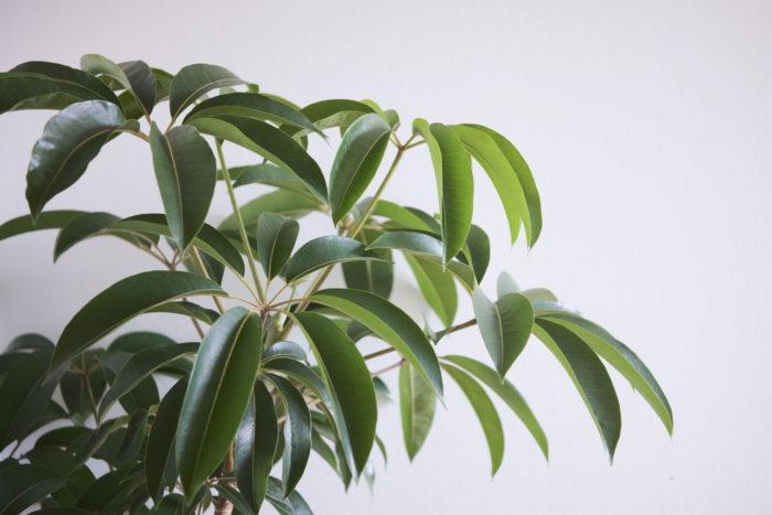 ツピタンサスはシェフレラの一種ですが、非常に大きくなる葉が魅力的な大型観葉植物です。