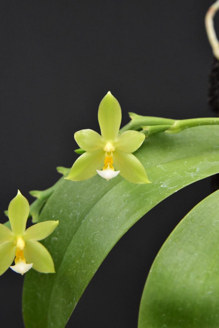 ファレノプシス・パレンティニー・アルバ  ファレノプシス・コルヌセルビとファレノプシス・ビオラセアの交配種。両親譲りの夏咲きで、小さな緑色の花を咲かせる。