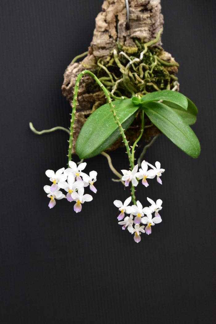 ファレノプシス・エクエストリス・セルレア  ファレノプシス属を代表する夏咲の小型エクエストリス。セルレアとはブルー系の色をした花を意味し、小さい花がいくつも咲く姿はとても愛らしい。
