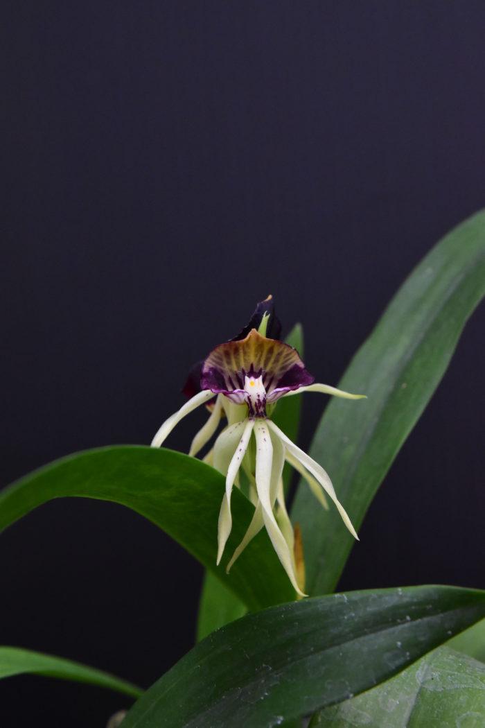 エンシクリア・コクレアタ  岸諸国の温暖で湿度の高い森林の樹木に着生する原種ラン。花が180度回転して咲くため、リップ(唇弁)が上にきている。