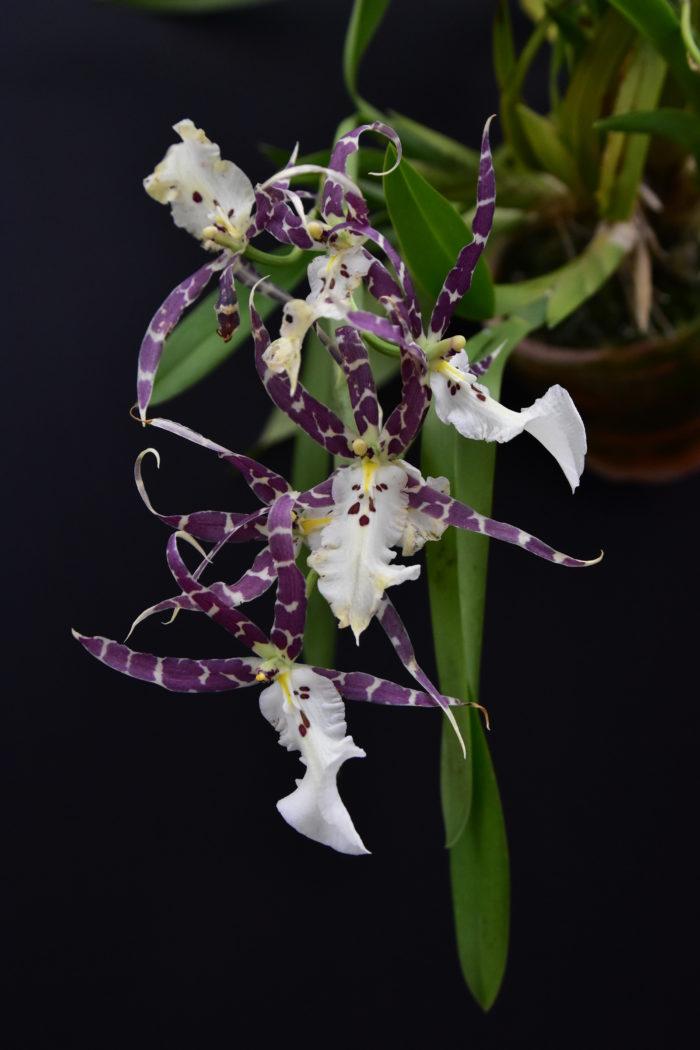 ブラッシア・ エターナルウィンド・サマードリーム  秋〜冬にかけて白地に赤紫色のスポットが不規則に入った花弁を細長く伸ばして咲かせ、その見た目からスパイダーオーキッドとも呼ばれる。