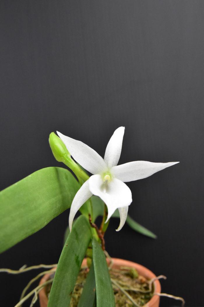 アングレカム・レオニス  多肉質の扁平な厚い葉を持ったレオニス。開花期は冬〜春で、夜になると香りを漂わせる白い綺麗な花を咲かせる。
