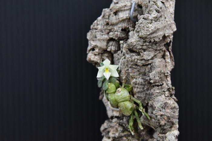 コンスタンティア・シポエンシス  ブラジルのミナスジェライス州にあるシポー山脈が原産の小型の着生ラン。バルブと同じくらいの白い花を咲かせる姿が可愛い。