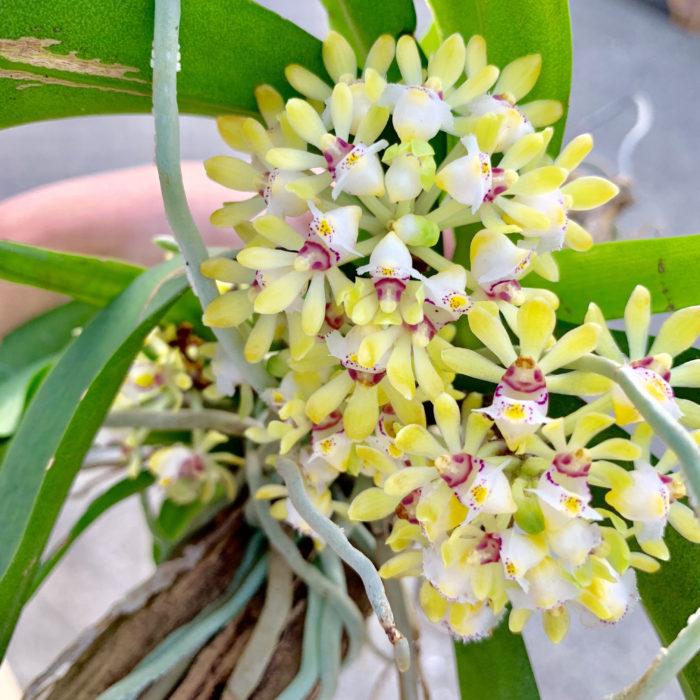イエローのガストロキルスが元気よく開花