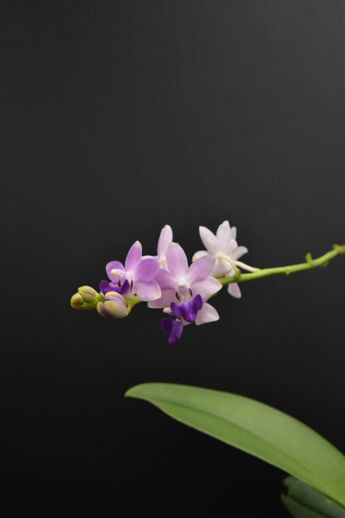 ドリテノプシス・ケネシューベルト・ブルーリボン × ドリティス・プルケリマ  ドリテノプシス属とドリティス属の属間交配種で、初夏〜秋にかけて品のある藤色をした小さな花を咲かせる次々と咲かせる。