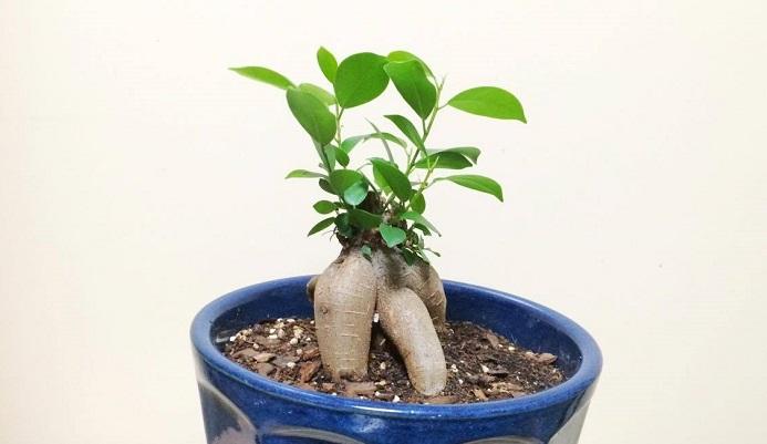 ガジュマル 植え 替え ガジュマルの育て方|剪定、植え替え、水やりは?