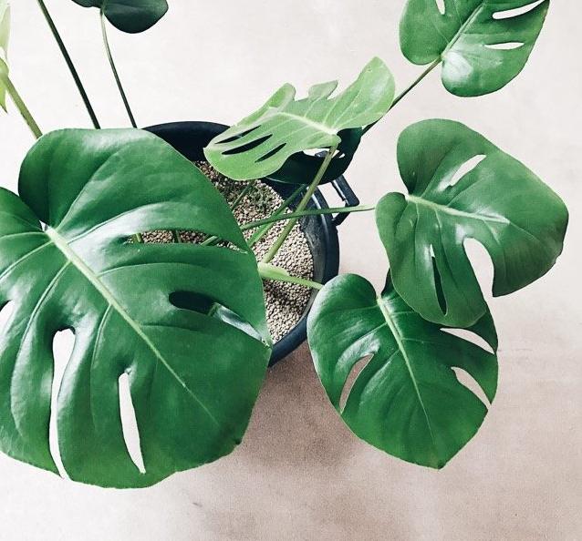 たくさんの観葉植物がありますが、その中でサトイモ科の植物をどれだけ知っていますか?あの人気の観葉植物もサトイモ科の植物なんです。気になる観葉植物やお好みの植物を見つけてみませんか。